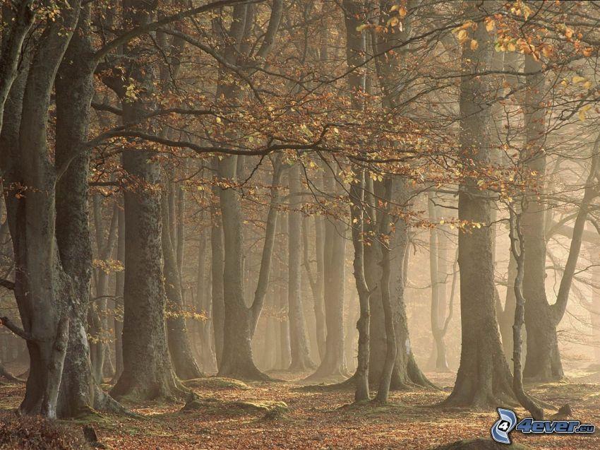 árboles otoñales, árboles de hoja caduca, hojas secas, troncos