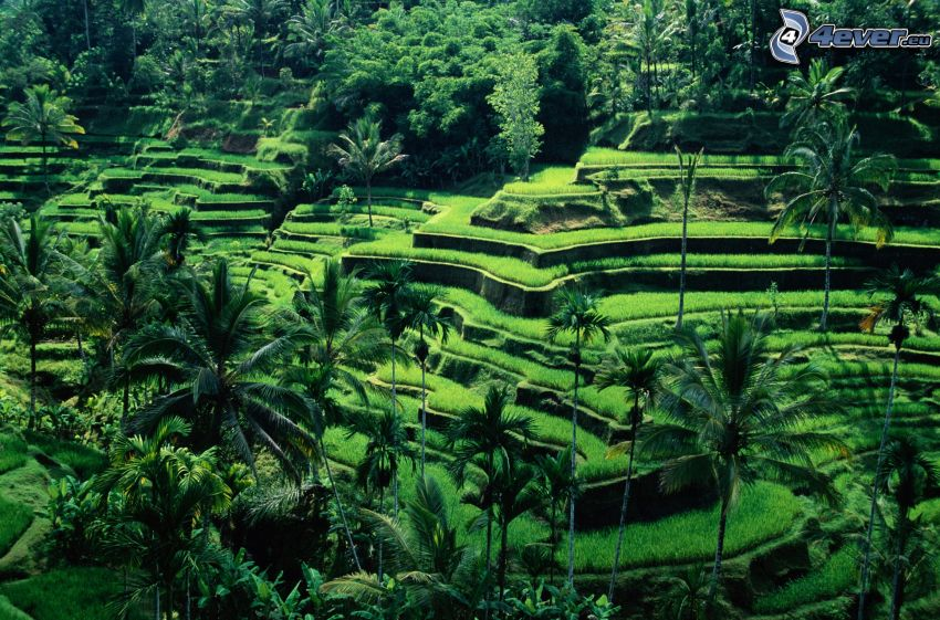 Arrozales en Vietnam, palmera