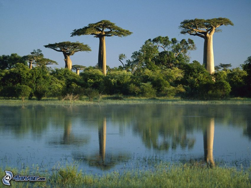 baobabas, río, bosque
