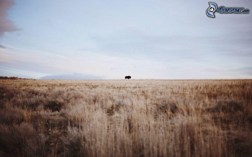 bisonte, campo, silueta