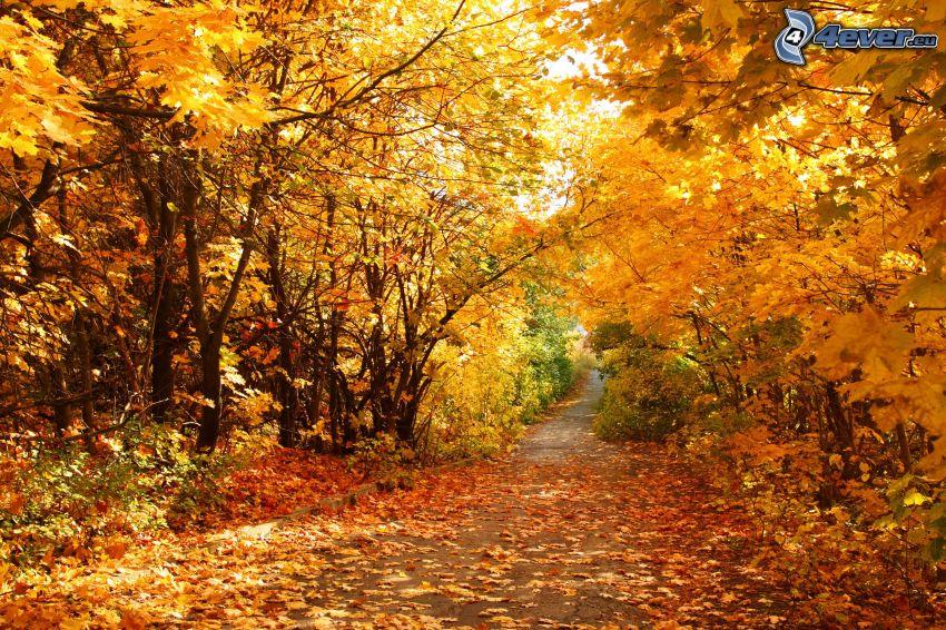 bosque, amarillo de otoño, camino por el bosque
