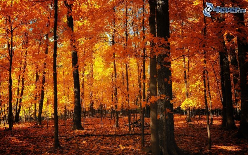 bosque, amarillo de otoño