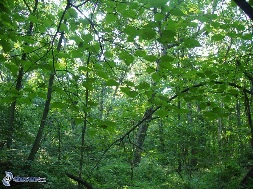 bosque, hojas verdes