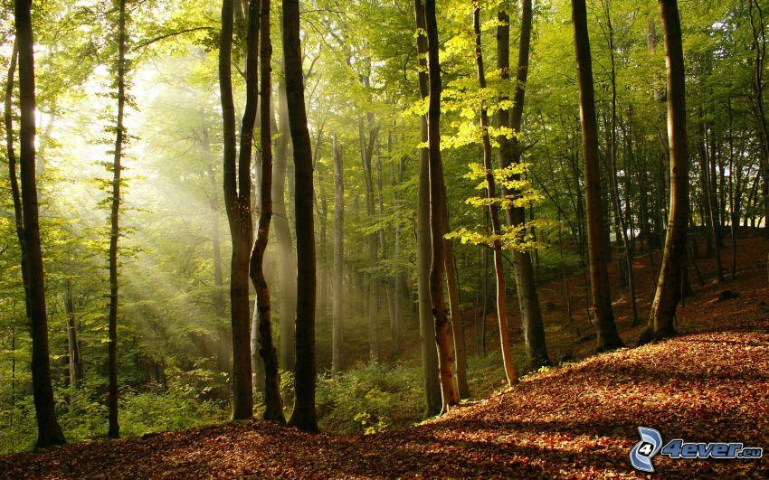 bosque, rayos de sol