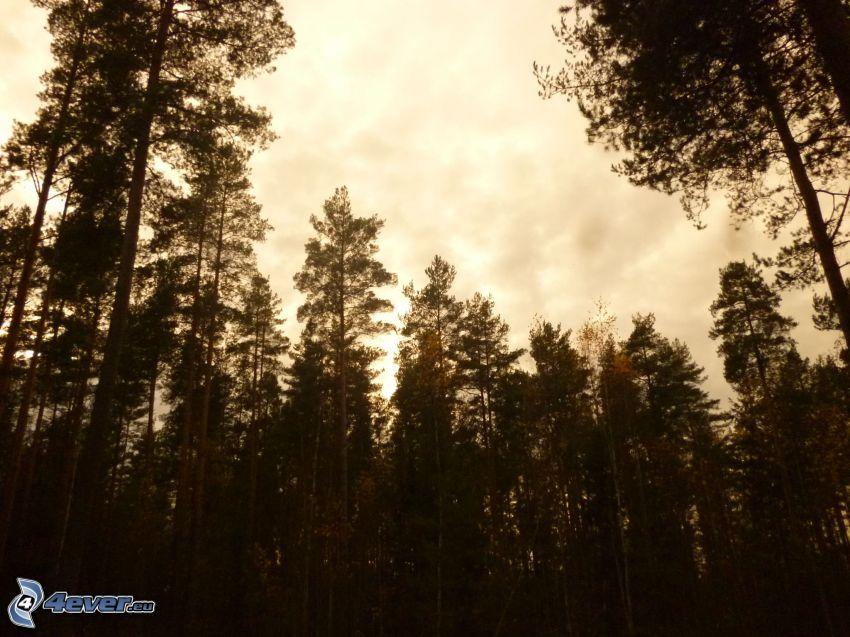 bosque, siluetas de los árboles