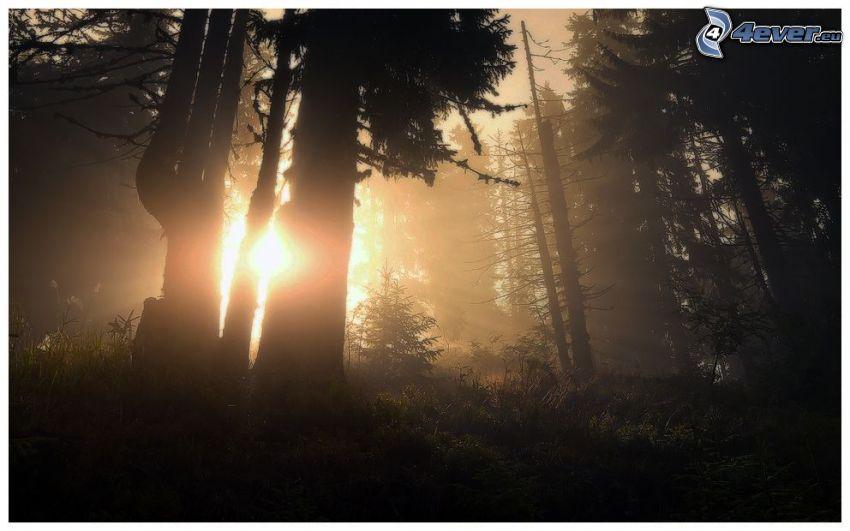 bosque, sol, siluetas de los árboles