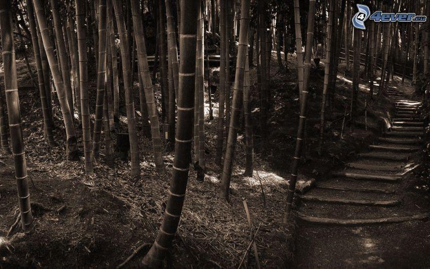bosque de bambú, sendero tras un bosque, Foto en blanco y negro