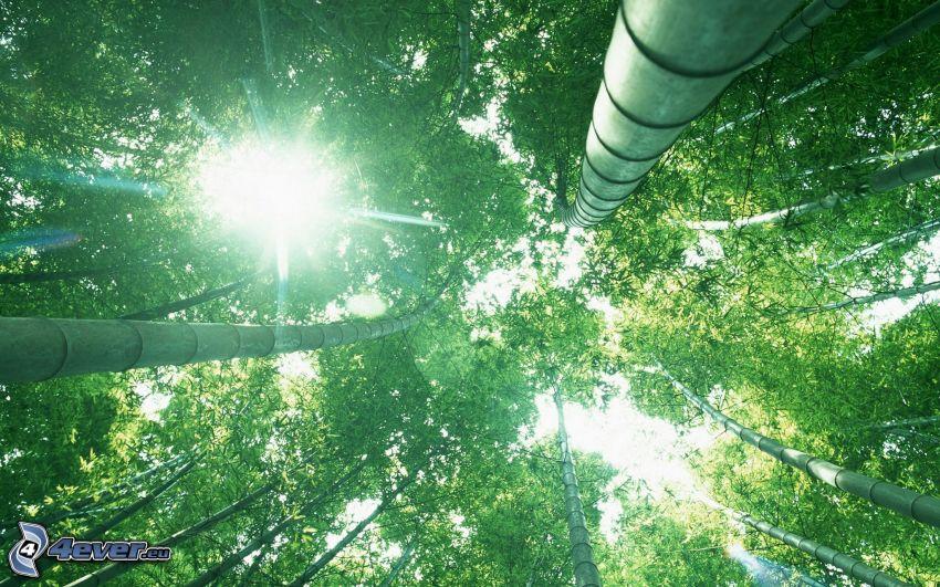 bosque de bambú, sol