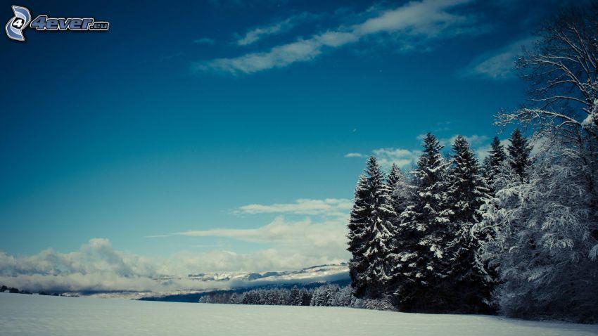 bosque de coníferas nevado