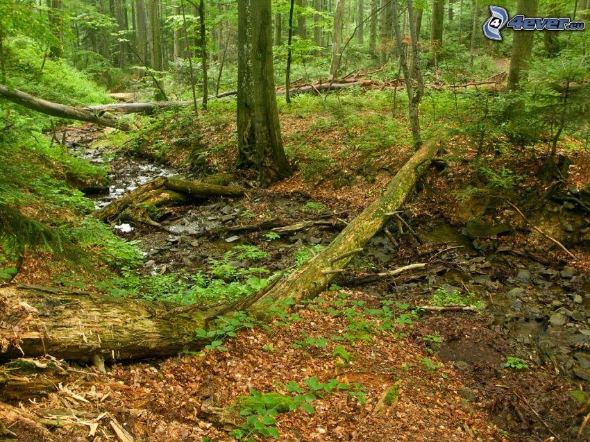 bosque de hayas, corriente que pasa por un bosque