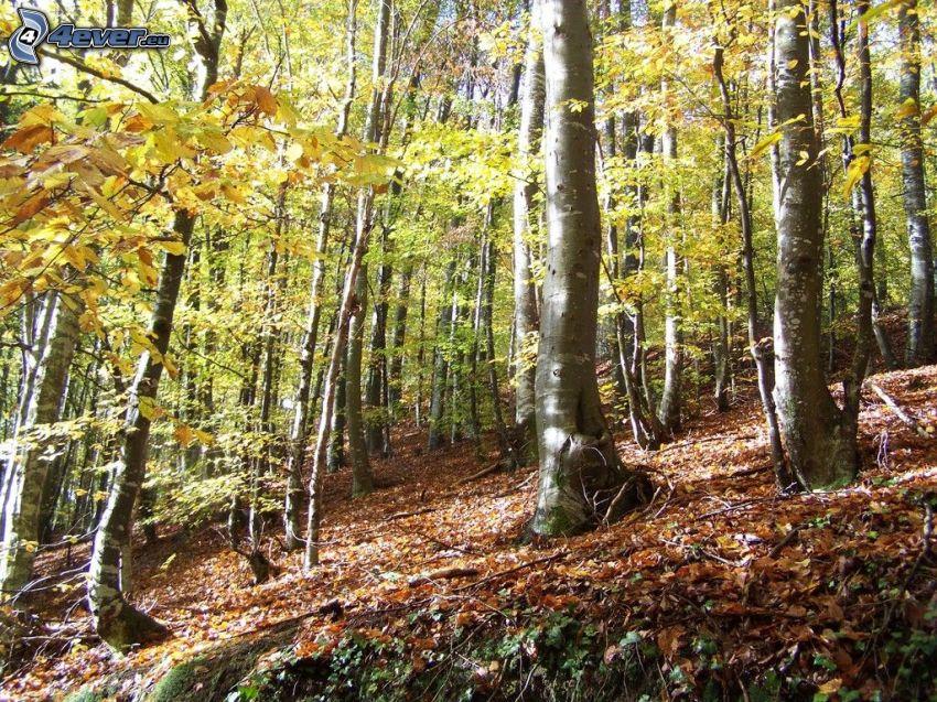 bosque de hayas, hojas de otoño