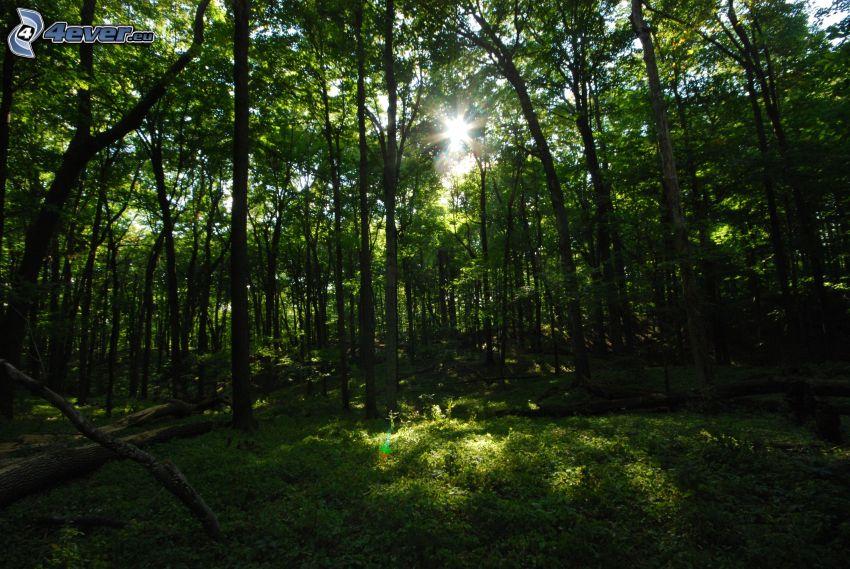 bosque de hayas, sol, verde