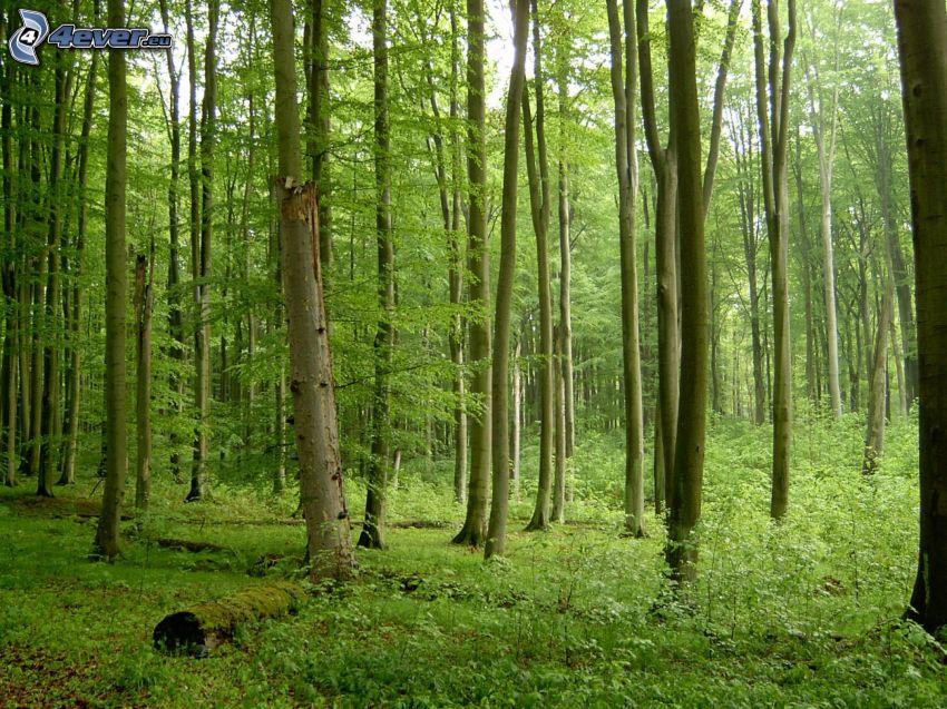 bosque de hayas, verde