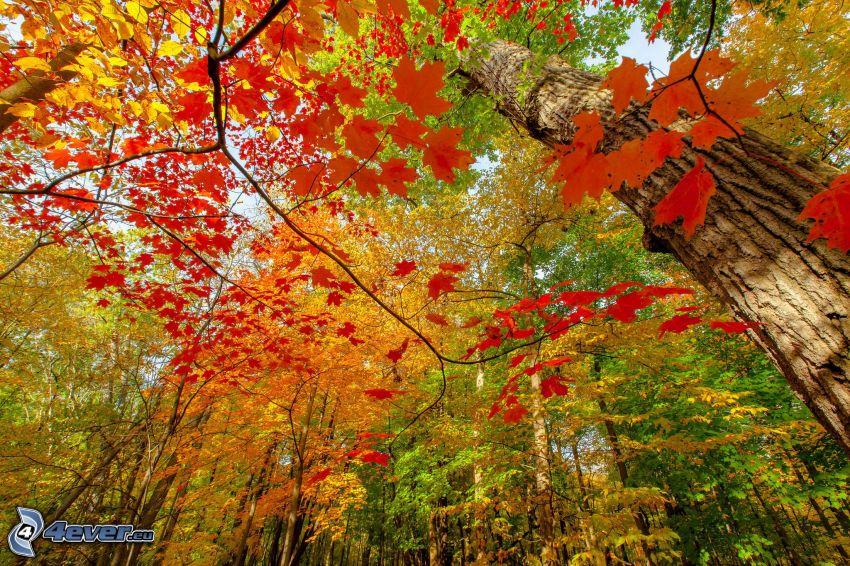 bosque de otoño, hojas de otoño