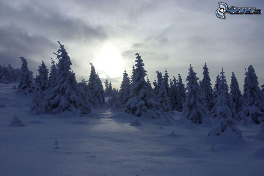 bosque nevado, nieve, el sol detrás de los nubes