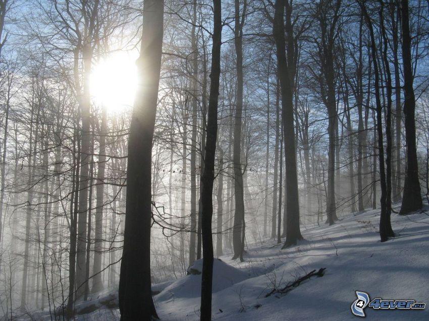 bosque nevado, sol