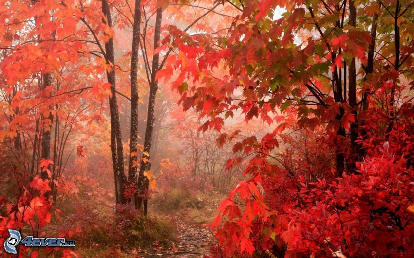 bosque rojo del otoño