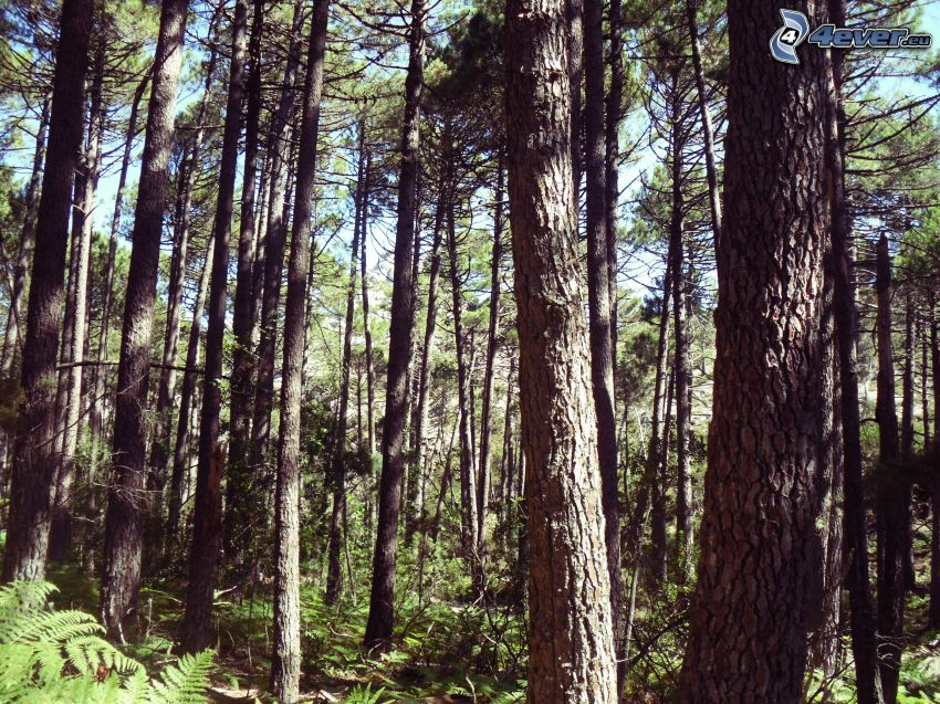 bosques de coníferas, pino