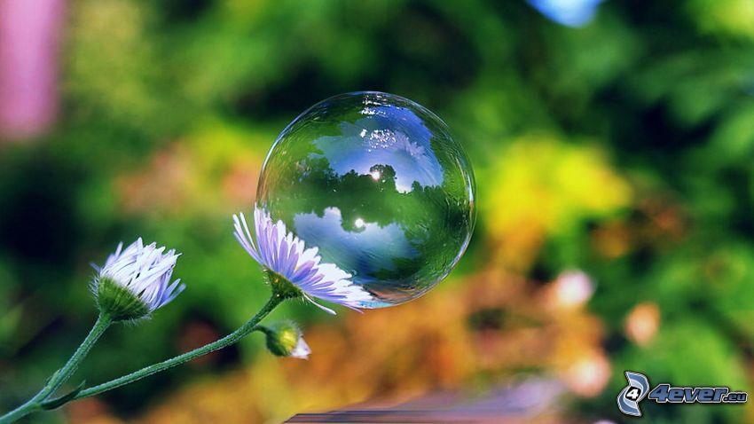 burbuja, margaritas