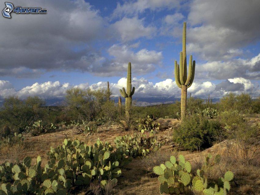 cactuses, nubes