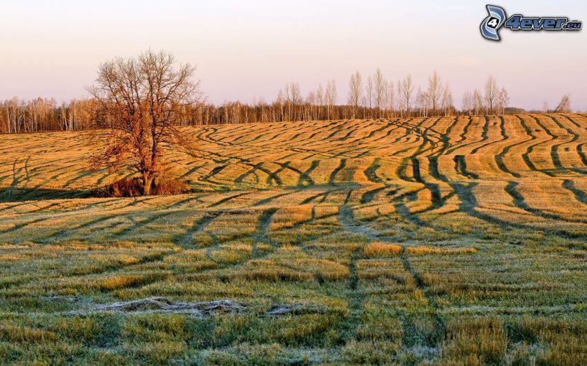 campo, árbol solitario, glaseado, salida del sol