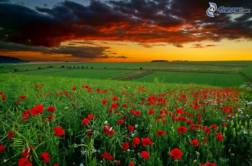 campo, cielo de la tarde, amapola
