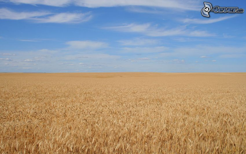 campo, grano, cielo