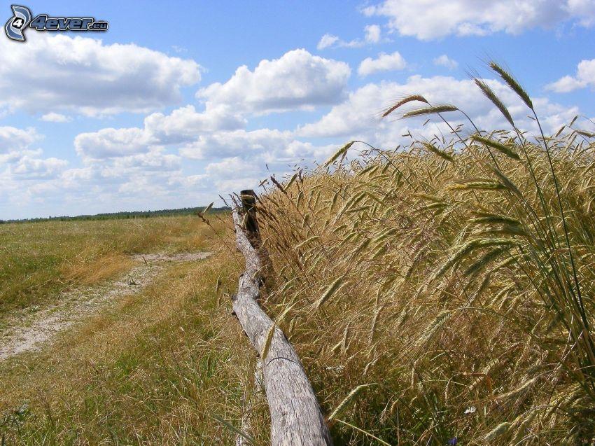 campo de trigo maduro, cerca de madera vieja, nubes