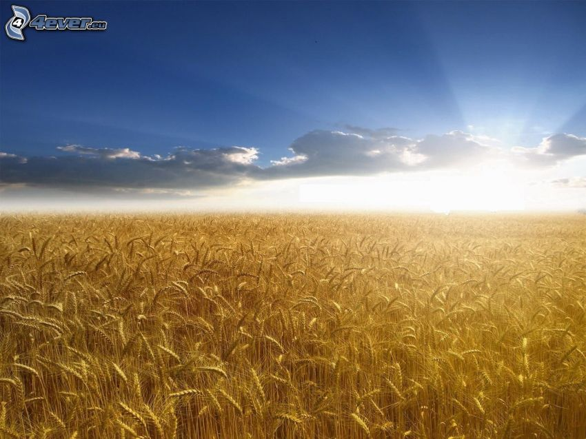 campo de trigo maduro, puesta de sol sobre el campo, nubes