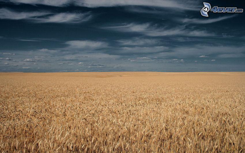 campo de trigo maduro