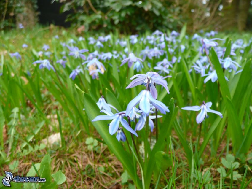 flores de color azul, hojas verdes