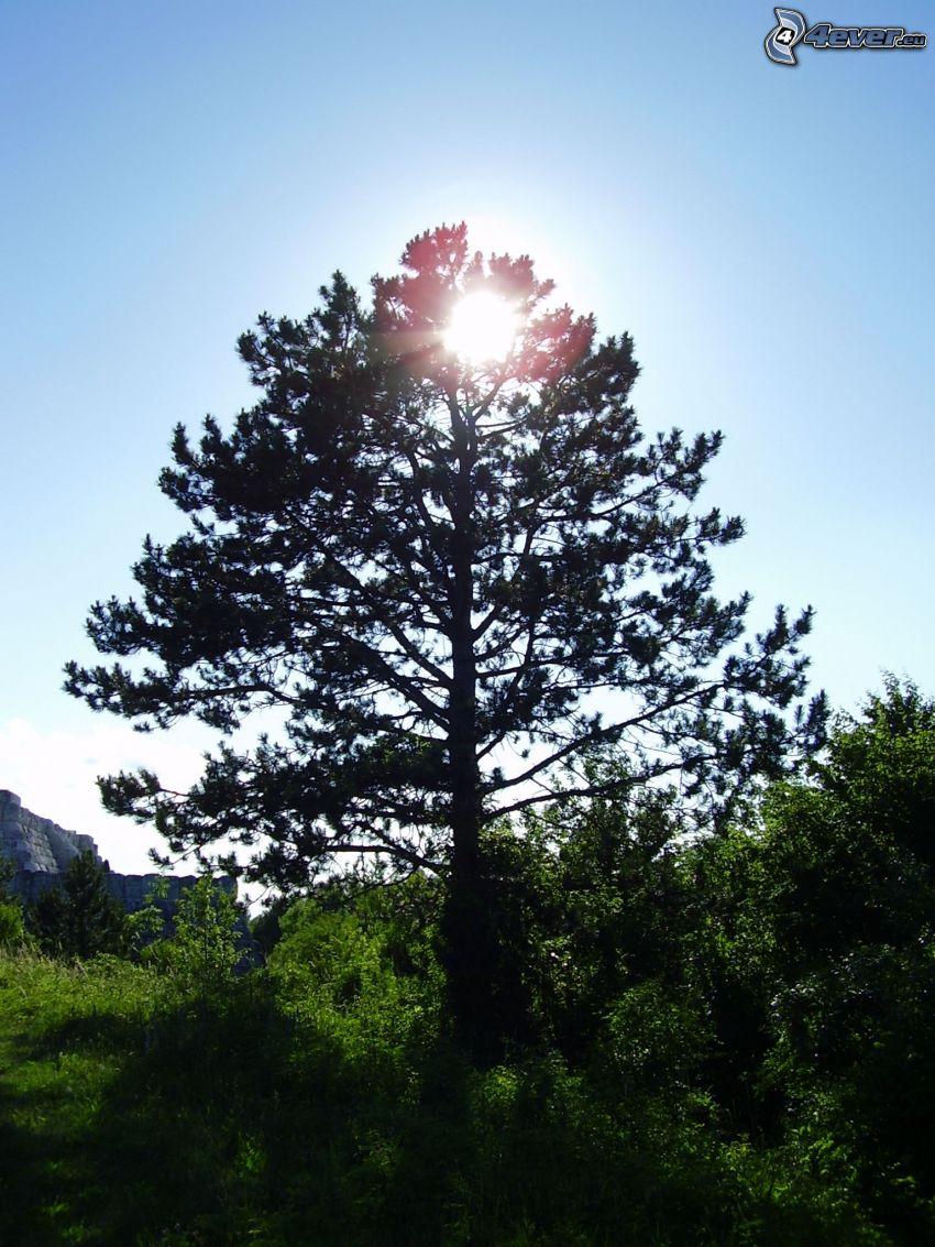 pino, conífera, sol