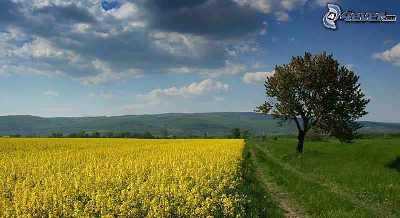 colza de aceite, árbol solitario, árbol en el campo, nubes, paisaje