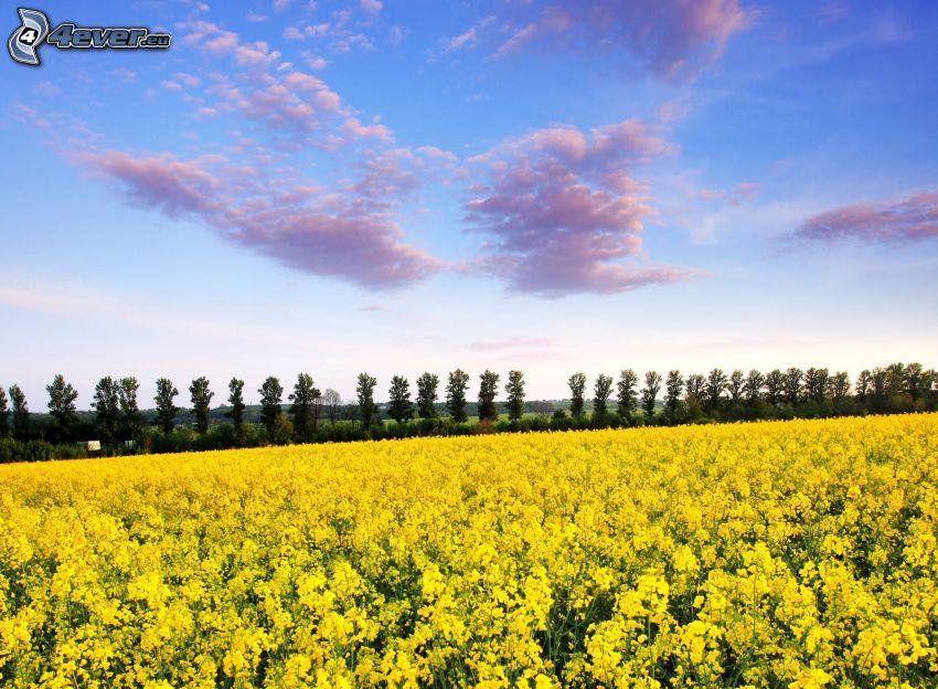colza de aceite, líneas de árboles, nubes