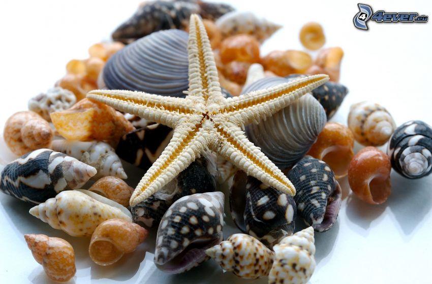 concha, estrella de mar