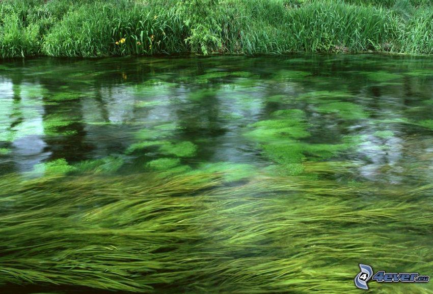 corriente, alga marina