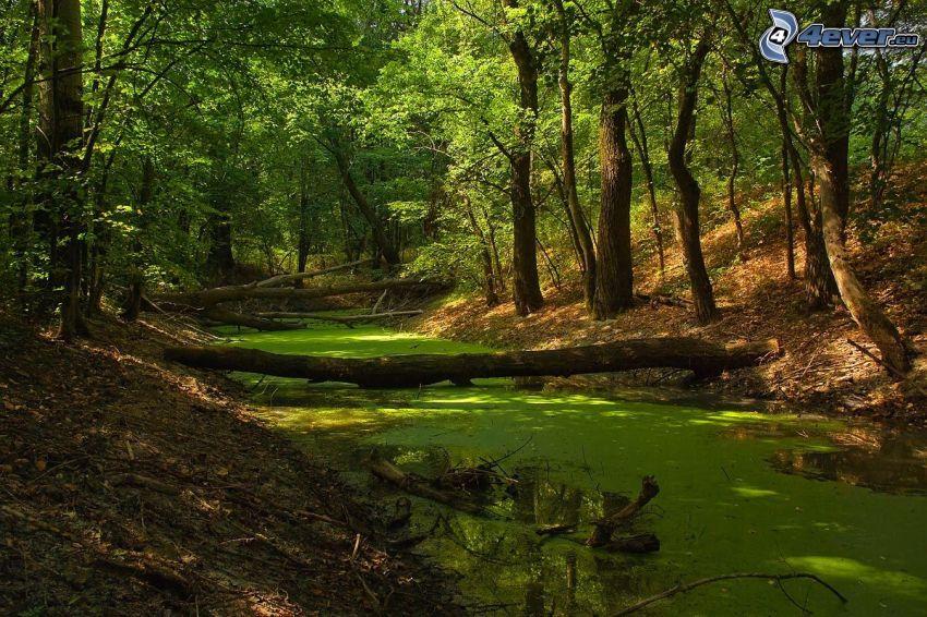 corriente que pasa por un bosque, alga marina, tribu, bosque