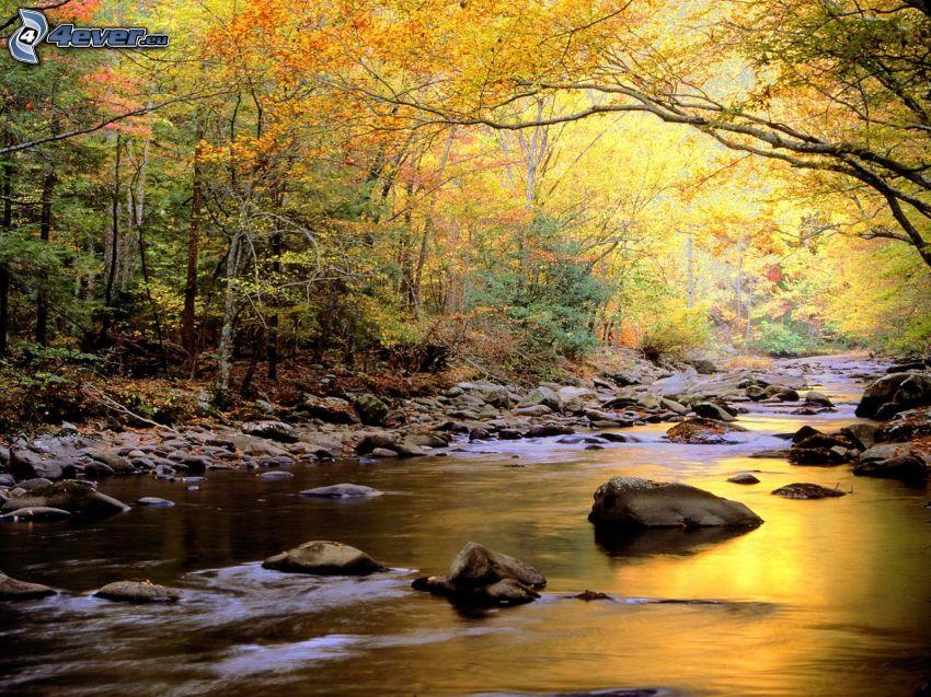 corriente que pasa por un bosque, árboles amarillos, rocas, otoño