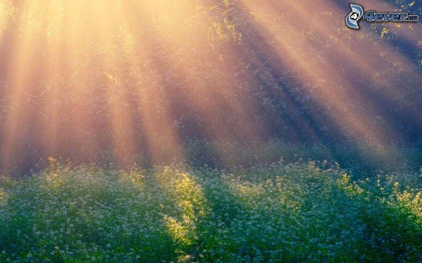 flores, rayos de sol