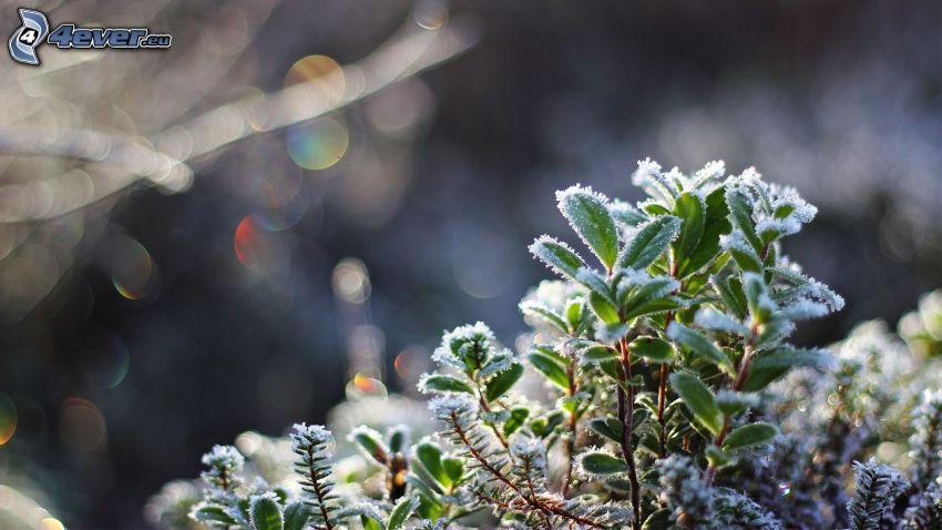 glaseado, hojas verdes, arbusto