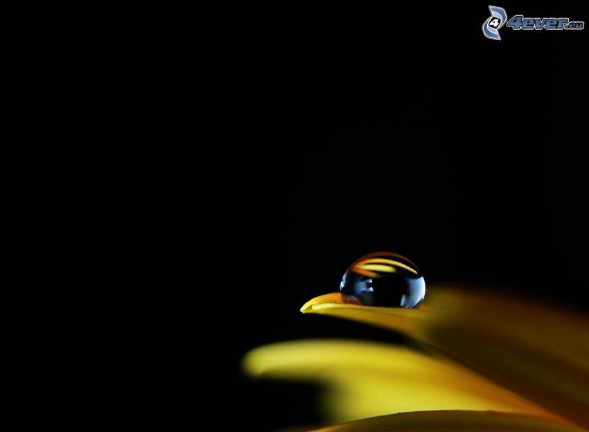 gota de agua, pétalo