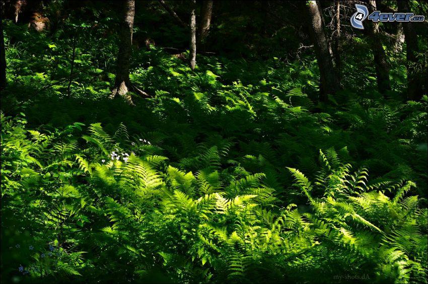 helechos, verde