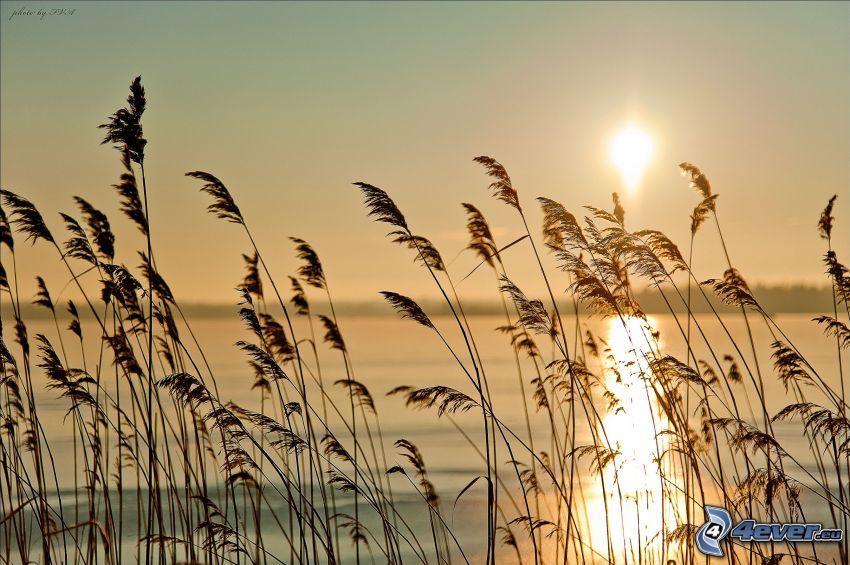hierba al atardecer, hierba en la orilla de un lago