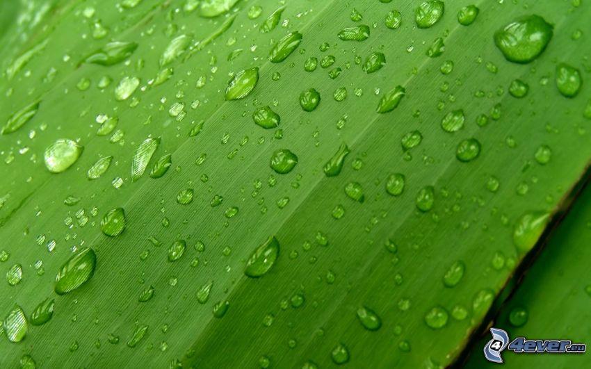 hoja verde, gotas de lluvia