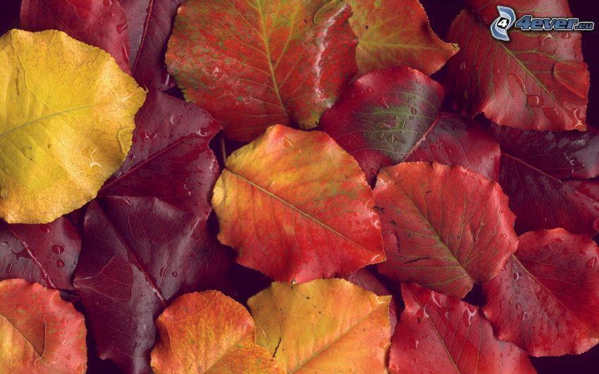 hojas rojas