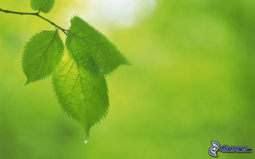 hojas verdes en una rama, gota