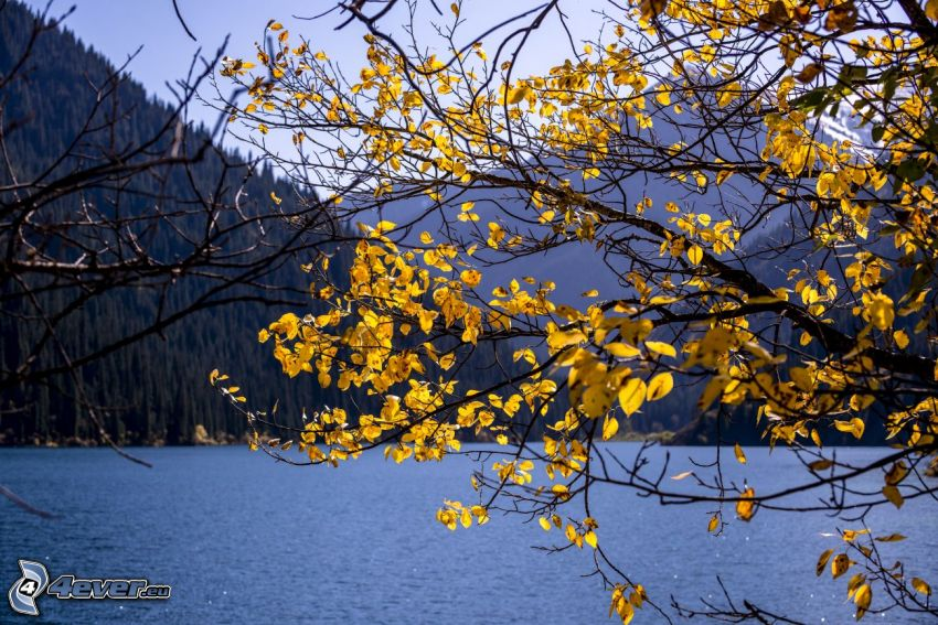 Kolsai Lakes, hojas amarillas, árbol otoñal