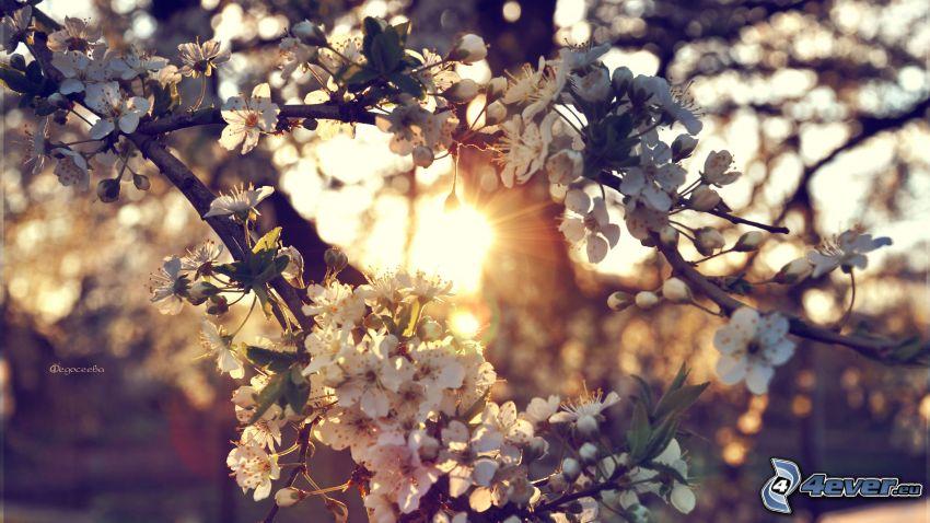 la floración de árboles, puesta del sol