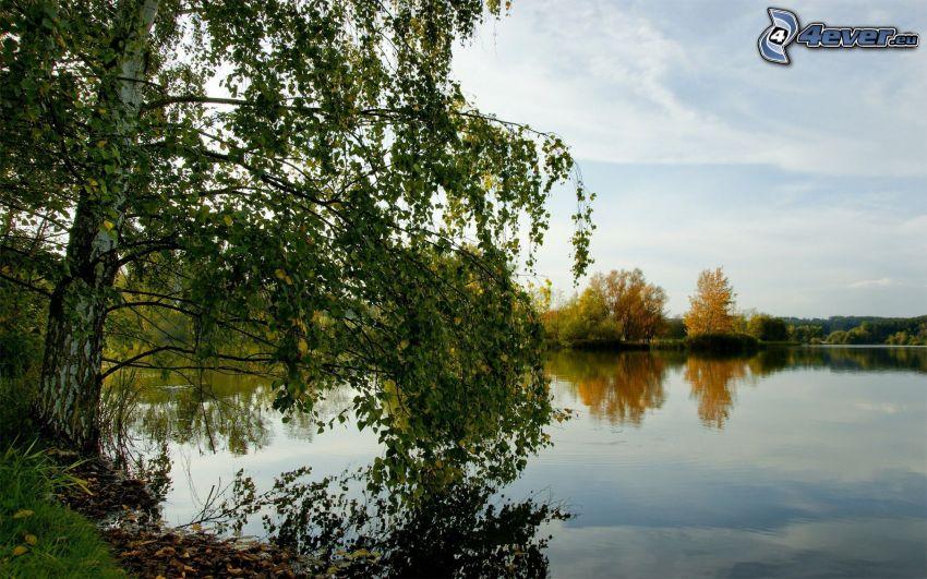 lago, árboles, abedul