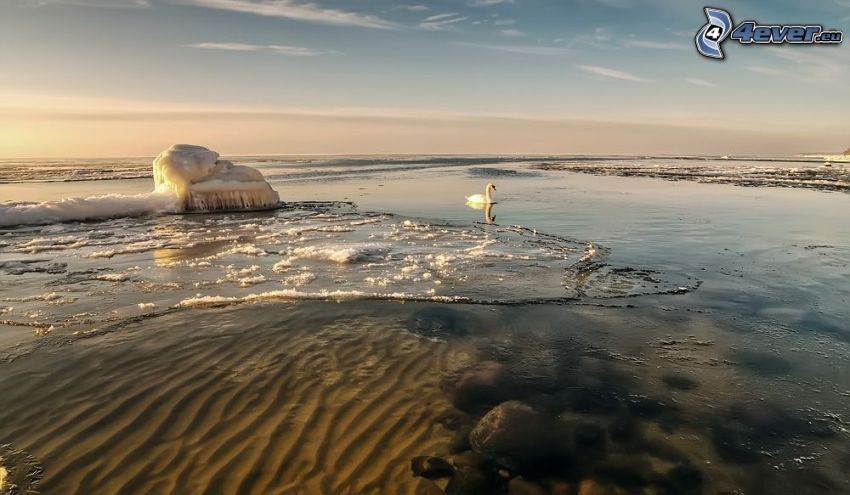 lago, cisne, glaciar